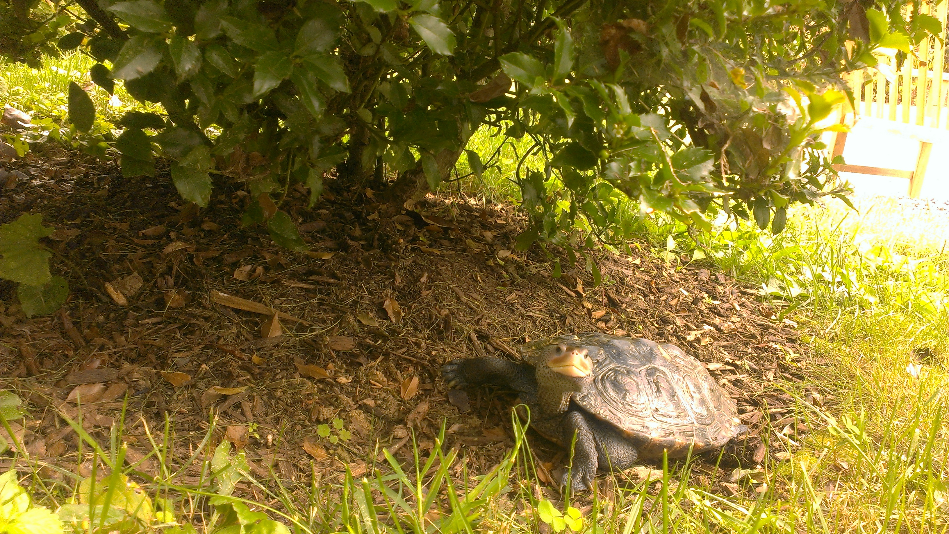 Torope, the Howard County Conservancy at Mt. Pleasant's Diamondback Terrapin, takes a walk in the gardens