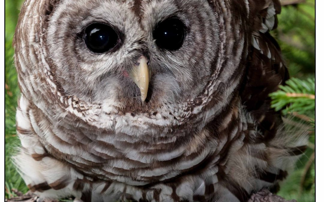 Ranger, the Howard County Conservancy's Barred Owl, perches in a tree